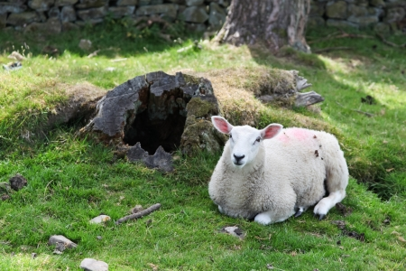 A white sheep laying down on a grassy hillside next to an old hollowed out tree trunk.