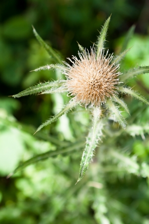 A wild thistle flowering in the sunshine with thorny leaves and a blurred green background. Stock Photo - 18027283