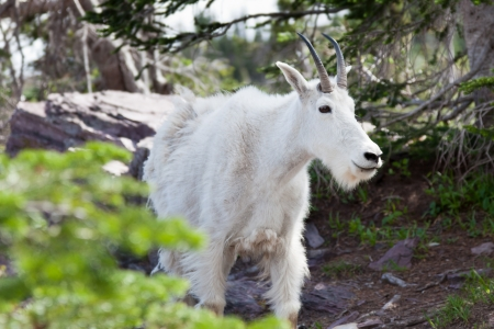 Close up of a white mountain goat walking down a rugged trail in Glacier National Park, Montana.
