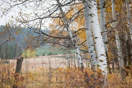 白樺の木秋の色、古い塀と国の設定で彼らの葉そして距離内のフィールドを失うの。
