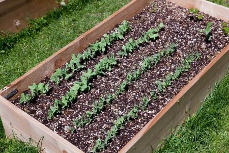 토양에서 성장하는 완두콩 식물의 행 나무 제기 정원 침대. 스톡 콘텐츠
