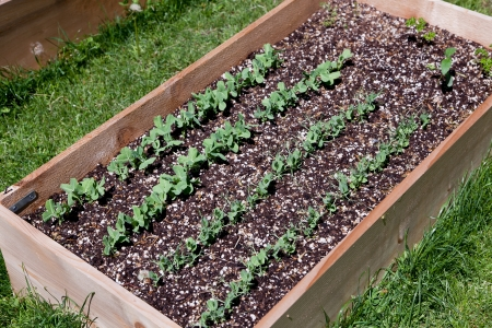 A wooden raised garden bed with rows of pea plants growing in the soil.