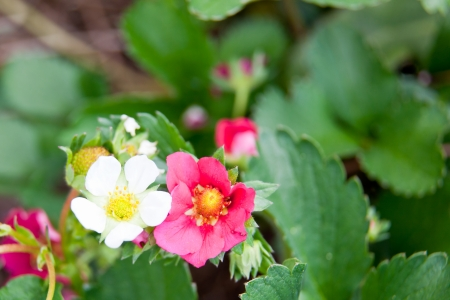 A white June bearing strawberry bloom next to a pink ever bearing strawberry bloom with blurred green leaves as a background. Фото со стока