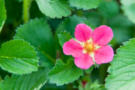 ever: A close up of a bright pink ever bearing strawberry bloom surrounded by healthy green leaves.
