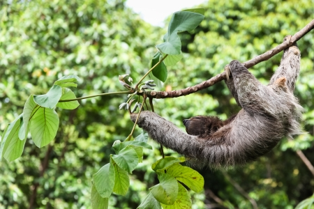 A three toed sloth hanging by three legs on a branch of a tropical plant with one arm reaching for leaves. Standard-Bild