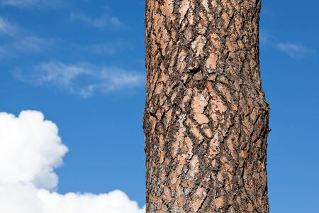 ponderosa: The puzzle like bark of a ponderosa pine tree against a blue sky background with white fluffy clouds.