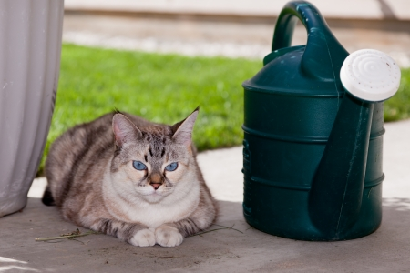 A blue eyed outdoor cat laying on a concrete patio next to a green watering can. Imagens