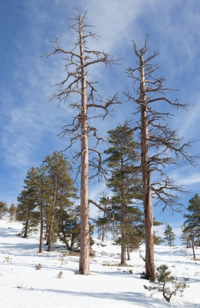 Two dead trees resulting from one lightening strike which has left a spiral scar down the tree on the right at Brice Canyon in Utah. photo