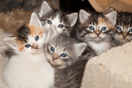 cuddled: Five young stray kittens with blue eyes cuddled together for warmth at nap time.