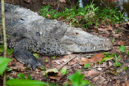 soaks: A large crocodile soaks up the sunshine on the bank of a river in the jungle of Belize.