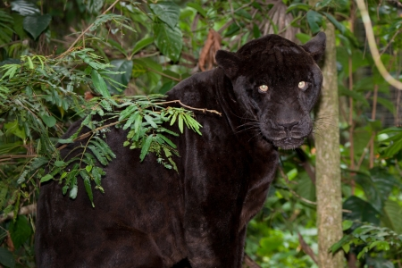 A large black panther with glowing eyes sitting in the jungle flora of Belize.