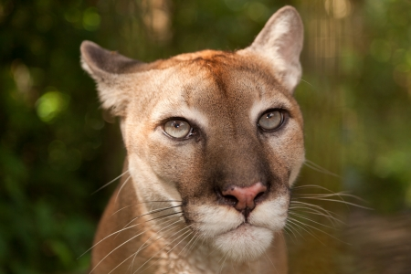 Sunlight filtering through jungle foliage lights up the head of a cougar who is staring with intent  photo