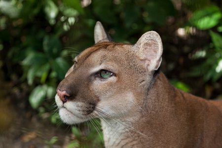 A profile of a green eyed puma or cougar staring into the jungle in Belize  photo