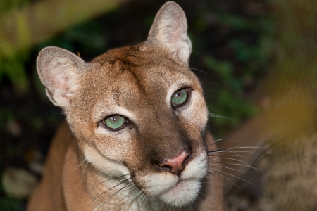 A close up portrait of a large male cougar or puma with green eyes  photo