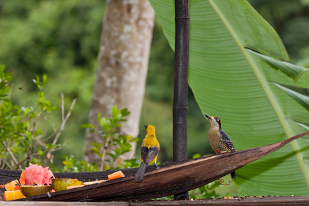 A woodpecker and an oriole sit on a wooden trough eating a breakfast of fresh fruit and looking around for any danger.