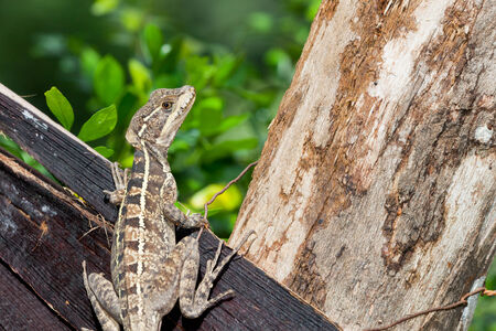 A close up of a brown patterned lizard resting on an old piece of wood wired to a tree trunk in Belize. photo