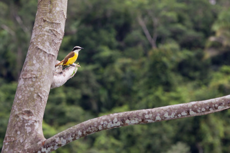 elusive: A great kiskadee bird rests on a high branch of a tree with a soft blurred jungle background in Belize.