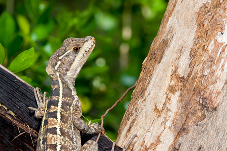 A close up of a brown patterned lizard resting on an old piece of wood wired to a tree trunk in Belize. Imagens