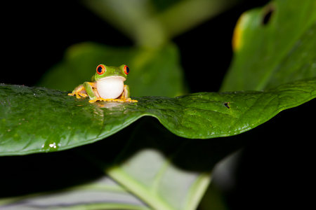 A red eye tree frog sits on a wet leaf with its throat puffed out at night in the jungle of Belize.