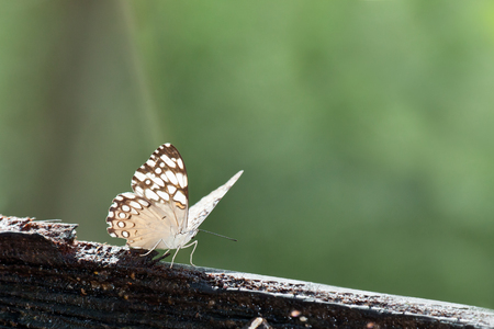 A grey cracker butterfly resting on a piece of wood in the sunshine with a blurred jungle background in Belize.