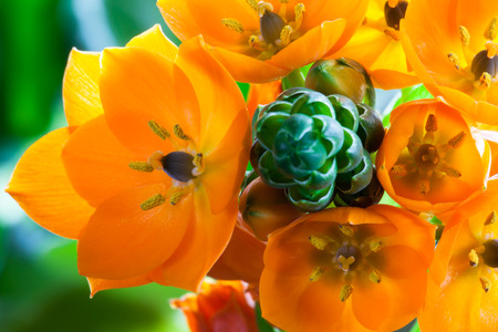 ornithogalum dubium: A cluster of bright orange blooms on a green stalk of an Orange Star houseplant from South Africa.