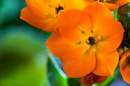 A bright orange bloom on an Orange Star houseplant with a soft blurred green .