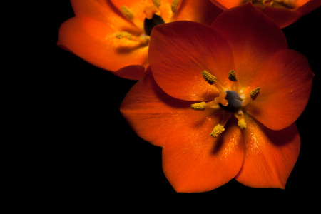 ornithogalum dubium: Colorful Orange Star flowers glowing through shadows and an isolated black . Stock Photo