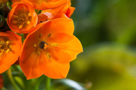 ornithogalum dubium: A cluster of bright orange blooms on a stem of an Orange Star houseplant from South Africa with a green blurred .