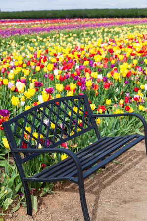 A black metal bench on a dirt pathway with background of colorful tulips at a farm in Oregon. photo