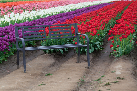 A black metal bench sits in front of rows or red, purple, white, pink and orange tulips on a farm in Oregon. photo