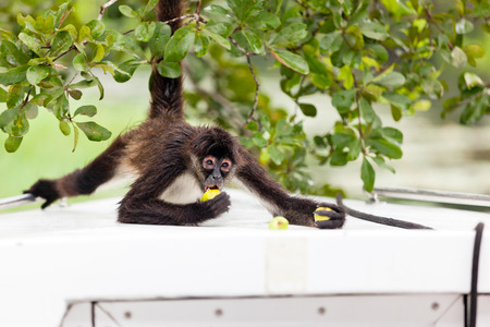 tourism in belize: A brown spider monkey holds on to a tree as he eats guava fruit on the front of a boat in Belize.