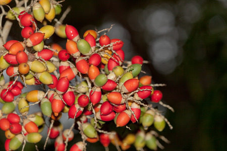 ripeness: The fruit of a Christmas palm tree in varying degrees of ripeness in the jungle of Belize.