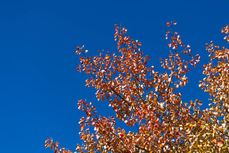 Red, orange, and yellow leaves display fall has arrived on branches of a tree with a vivid blue sky background.