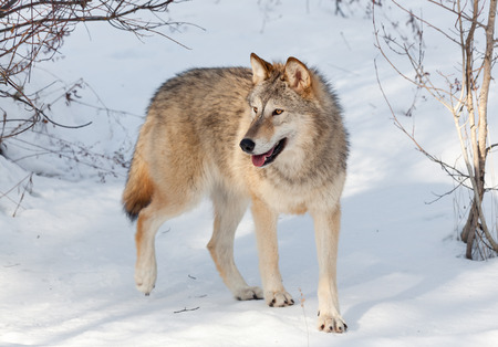 A young timber wolf walking through a wooded area covered in snow with afternoon shadows.