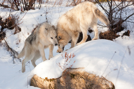 Two wolves of timber and arctic mixture show affection to each other as they play on a snow covered rock. Stock Photo