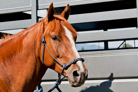 halter: A close up of a reddish brown horse tied with a blue rope halter to a horse trailer.