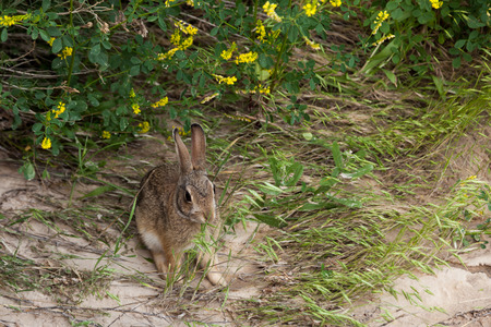 A wild jack rabbit sits under the brush and eats some tall grass in Badlands National Park, South Dakota.