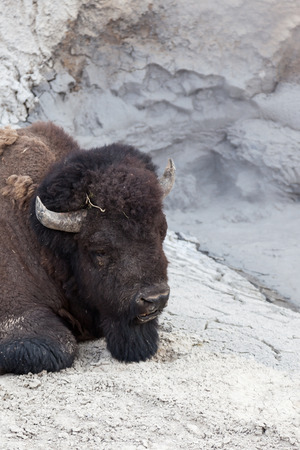 Close up of a large male bison who is relaxing next to a hot volcanic mud pool in Yellowstone National Park. Stock Photo