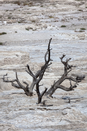 The skeleton of a dead tree covered over by a hot water mineral flow formation which has also died with out its water source in Yellowstone National Park.