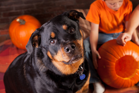 A black and mahogany female Rottweiler watching kids carve halloween pumpkins.