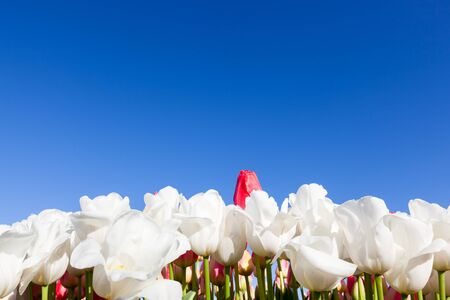 peaking: One red tulip bud peaking above a row of white tulip flowers with a bright blue sky background.