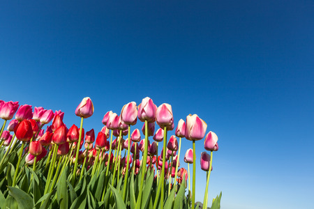 A group of pink and red springtime tulip flowers against a clear blue sky background.