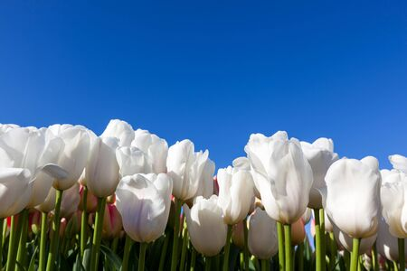 A row of white tulip flowers creating a wall against a clear blue sky background. Stock Photo