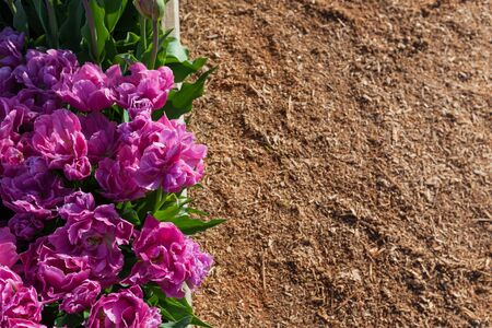 mulch: Double petaled purple tulips in a raised garden bed with a mulch background. Stock Photo