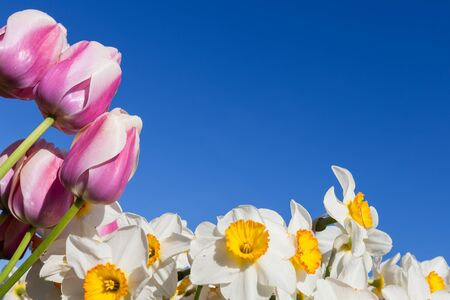 dutch: White and yellow daffodils and pink tulips frame the bottom and side of a bright blue sky. Stock Photo