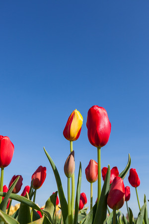 solid blue background: A red and yellow tulip flowers next to solid red tulips in a farmers field with a blue sky background.