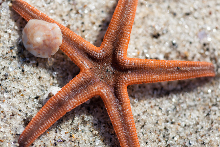 A small orange starfish on a tropical beach in Panama with a small shell next to it.