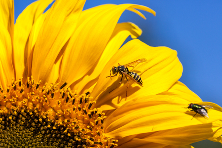 A yellow-jacket bee and a fly are both grooming themselves while sitting on a bright yellow sunflower bloom in the sunshine. Stock Photo