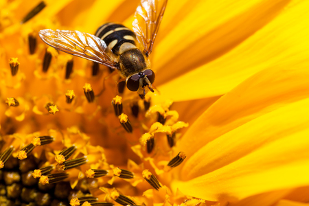 hover: The face of a hover fly resting on the small blooms of the inside of a sunflower. Stock Photo