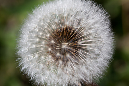 Small brown seeds attached to the inside of a dandelion stem with the fuzzy puffs surrounding them. Stock Photo